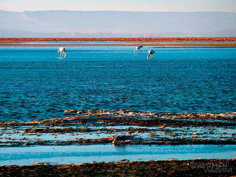 Fauna del Desierto de Atacama